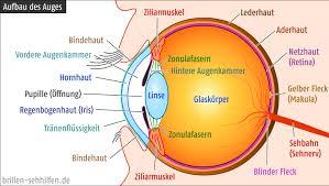 Anatomie des Auge seitlich gesehen